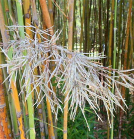 Bamboo Flowers
