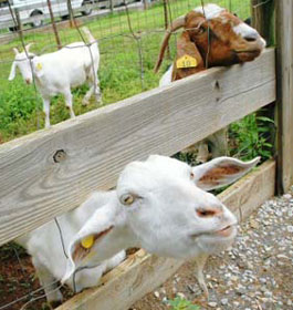 Goats at Cagels Family Farm