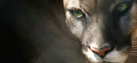 Cougar at Dauset Trails Nature Center