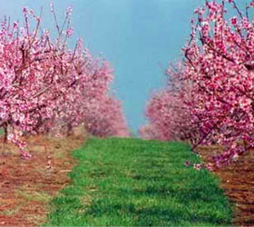 Flowered peach trees at Dickie Farms