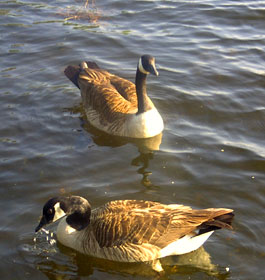 Ducks at Georgia Lake