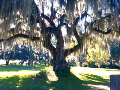Tree at Fort King George Historic Site