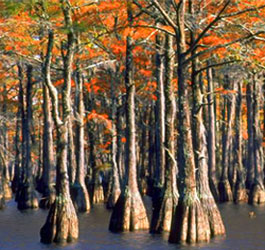 Cypress Trees at George L Smith State Park
