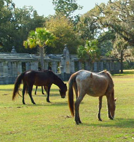 Wild horses and historic ruins at Cumberland Island GA