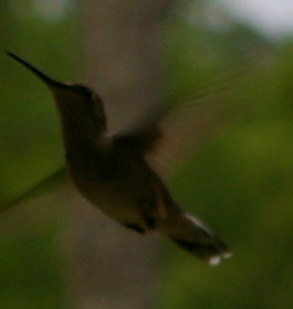 Hummingbird in GA