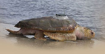 Sea Turtle at Jekyll Island