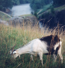 Goat at Lake Lanier