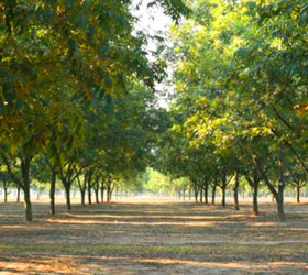 Peach Trees at Lane Packing Company