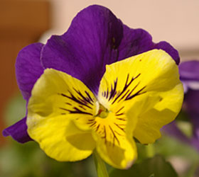 Pretty Pansie Flower