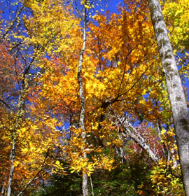Colorful falls trees at Raven Cliff Falls