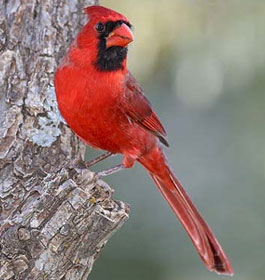Red Cardinal in Georgia