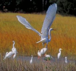 Sapelo Islands Birds