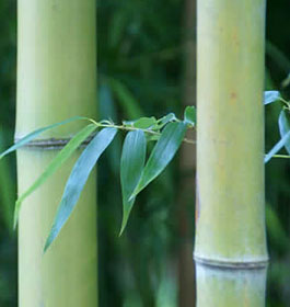 Savannah Bamboo Farm