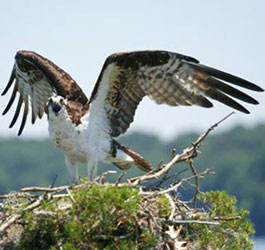Osprey at Seminole State Park