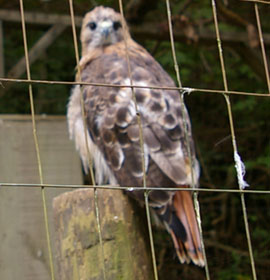 Smithgall Woods Concervation Area Red Tail Hawk