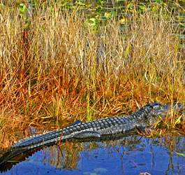 Alligator at Stephen C Foster State Park