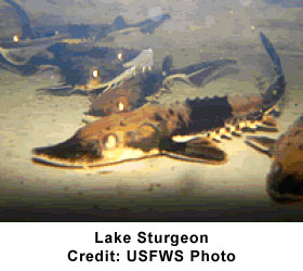 Lake Sturgeon Fish