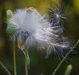 Wispy flowers
